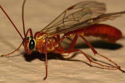 バチ ゴキブリ ヤセ